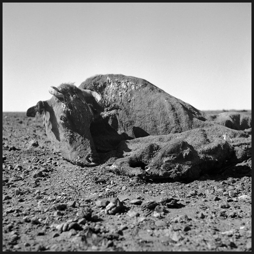 Untitled (cow and calf carcass covered in dirt I), 1952